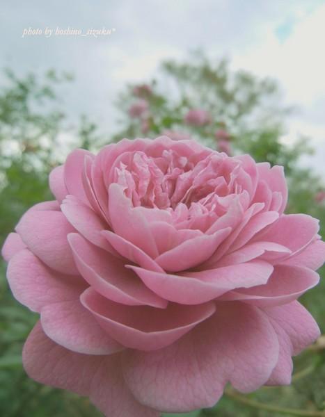 rose1-2hn2.jpg
